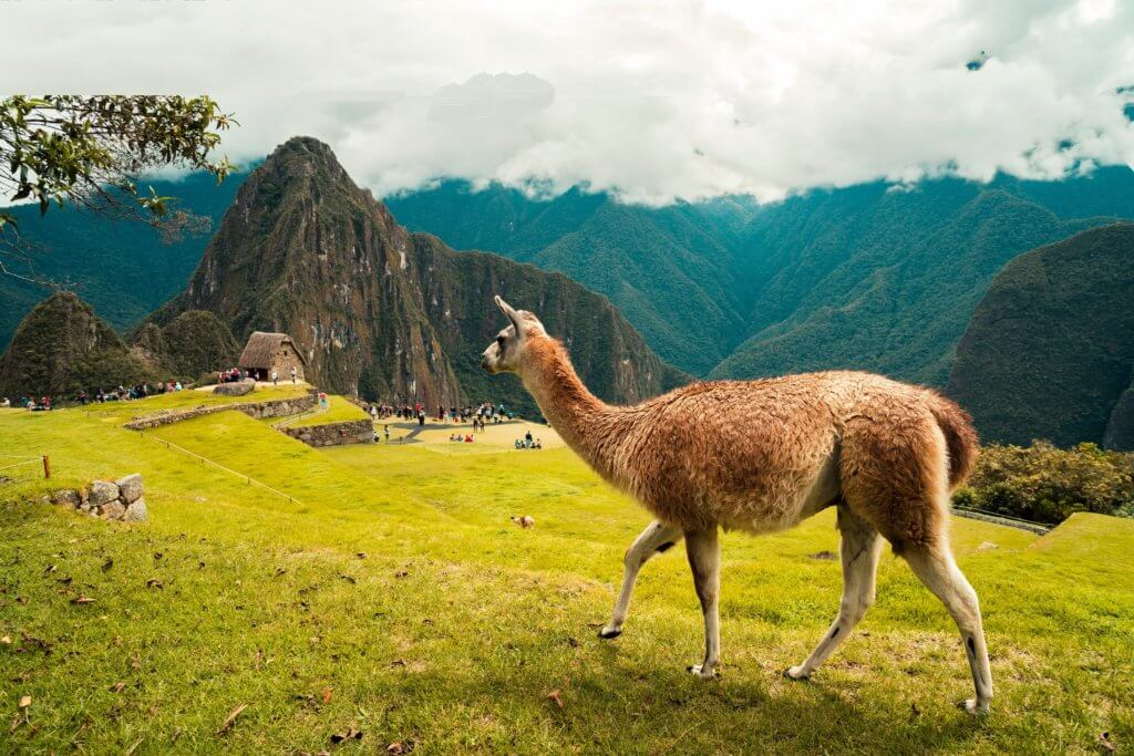 A llama walking through scenery in Peru.