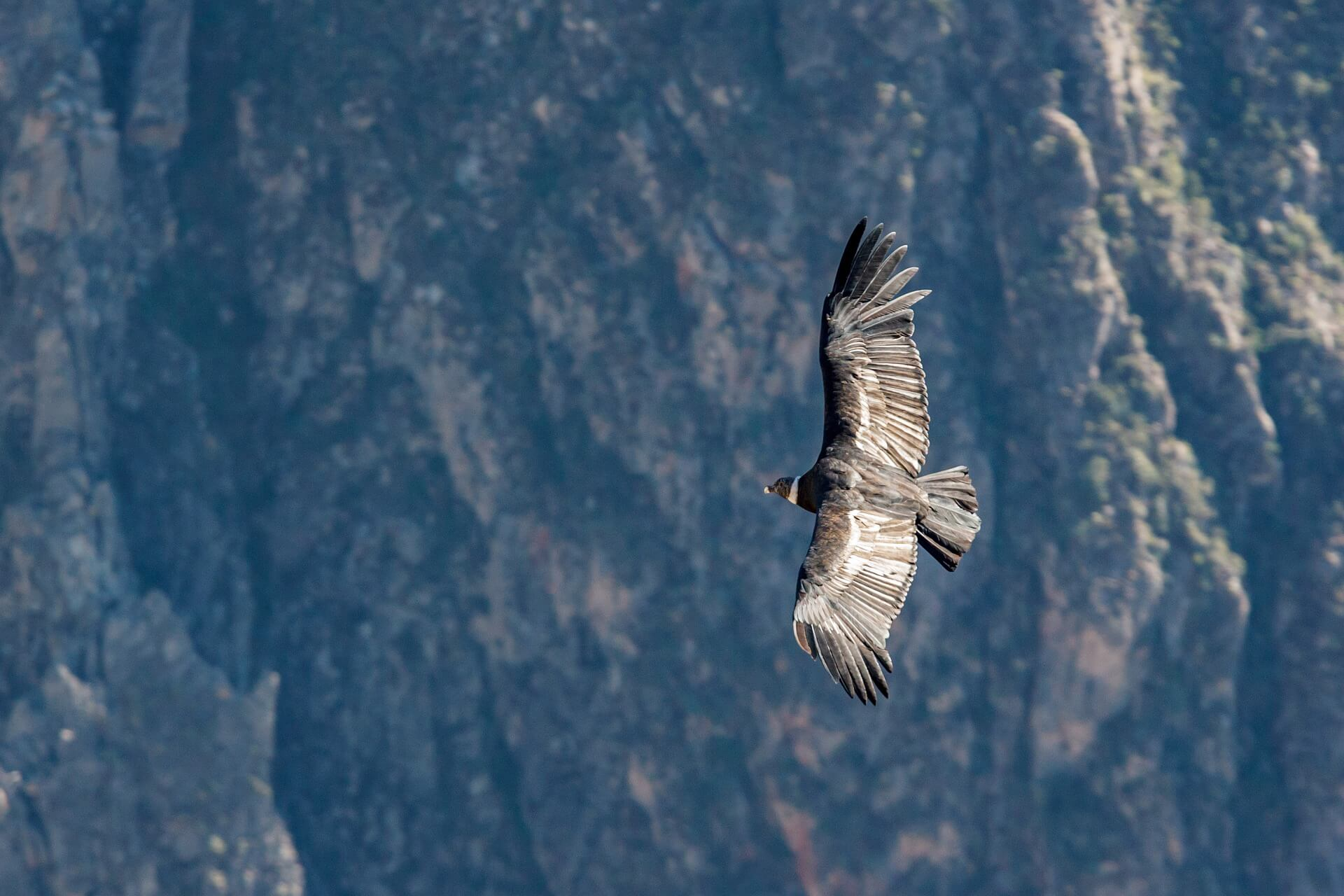 A condor flying in Peru